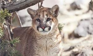 Video shows intense release of large cougar from trap