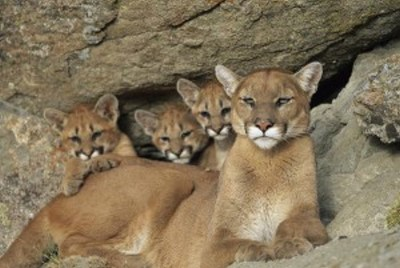 An Evening in Celebration of the Mountain Lion…..Something for your Calendar….Friday, May 13th, Nevada Museum of Art